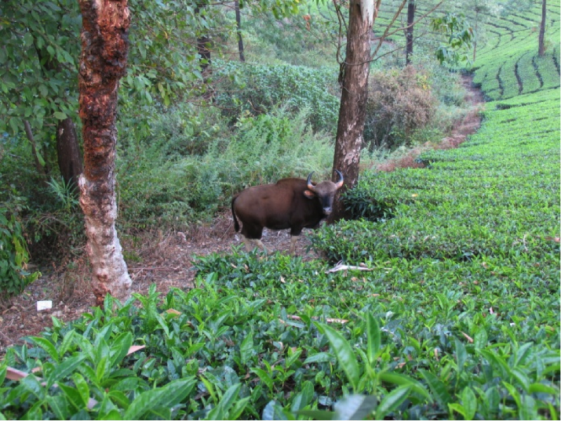 Gaur at the sharp boundary between tea plantation and native forest, near Valparai, Tamil Nadu. Photos taken by Dr Christopher Young.